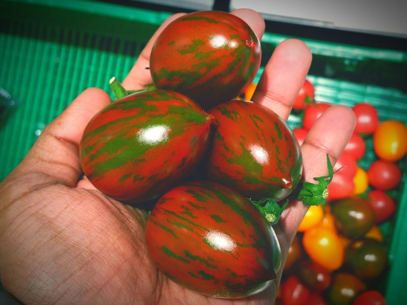Tomatoes Variety Of Tomato The Essence Of Purity And Beauty Vine Tomatoes Red And Green Stripes Tomatoes Colour Of Life