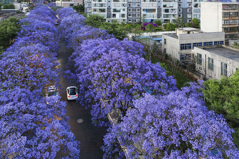 High angle view of purple flowering plant by building