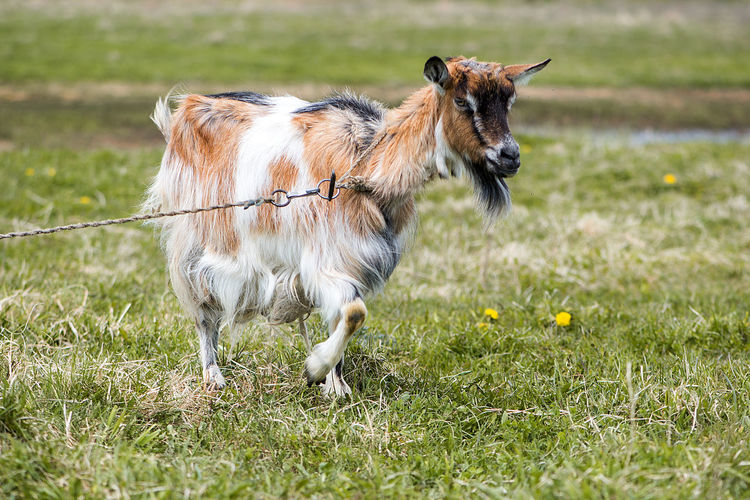 Agriculture Animal Animal Themes Cattle Breeding Day Domestic Animals Farm Farm Life Field Full Length Goat Goats Grass Latvia Livestock Mammal Nature No People One Animal Outdoors Pasture Pets Standing Pet Portraits