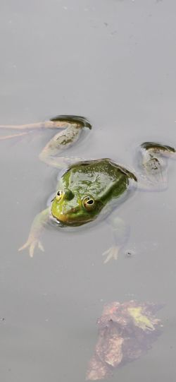 High angle view of frog swimming in lake