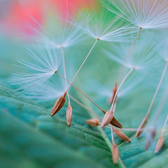 The abstract beautiful dandelion flower in the garden