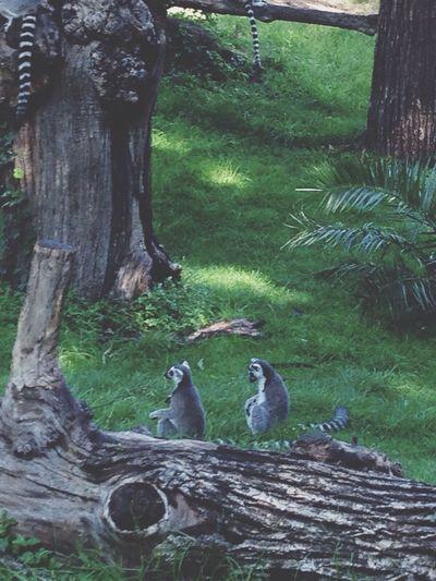 Mini Lemuri Bioparco 😍❤️