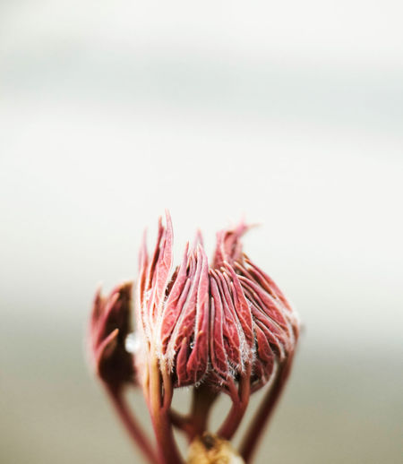 Close-up of wilted flower against white background