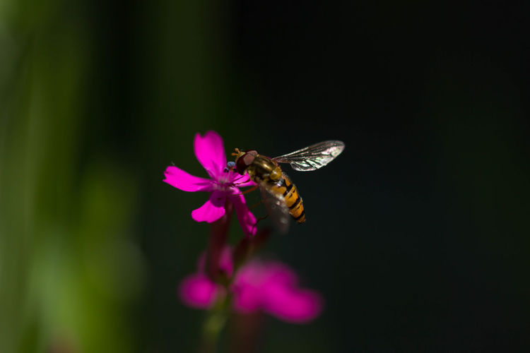 Animal Themes Animal Wildlife Animals In The Wild Beauty In Nature Bee Close-up Day Flower Flower Head Fragility Freshness Growth Insect Nature No People One Animal Outdoors Petal Pink Color Plant Pollination BYOPaper!