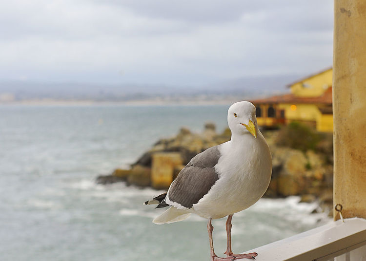Close-up of seagull with sea in background