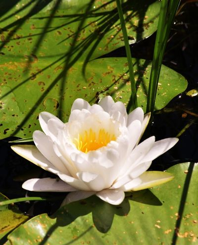 Flower Shadow Water Water Lily White Yellow Centered Flowers
