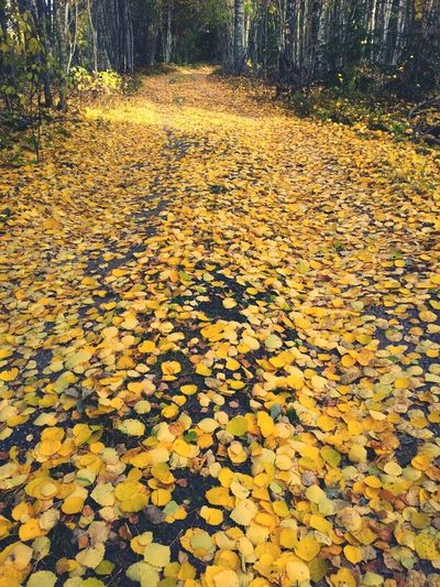 Walking on streets of gold Nature Autumn Sweden Nature_collection