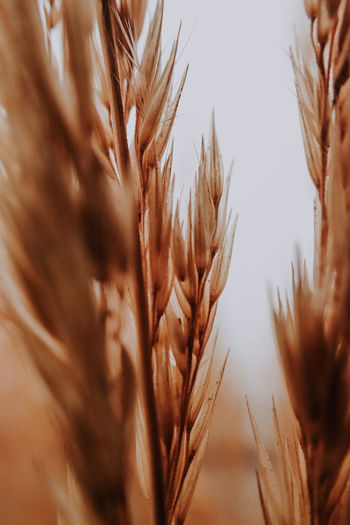 Close-up of wheat stalks against the sky