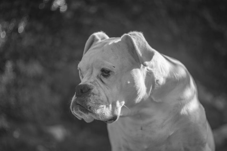 [Schneider-Kreuznach Karat Xenon 50mm f/2] Animal Themes Animal Mammal One Animal Domestic Animals Domestic Pets Focus On Foreground Canine Dog Close-up Vertebrate No People Day Animal Body Part Looking Away Looking Animal Head  Nature Outdoors White Dog Boxer Boxer Dog