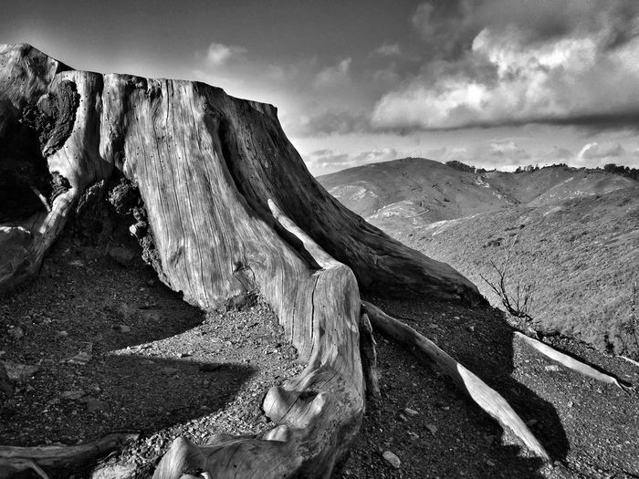 Tree Mountain Check This Out Tree Trunk Tree And Sky Tree_collection  Tree Tree Stump Tree Stumps Blackandwhite Blackandwhite Photography Black And White Naturephotography Naturelovers Top Of The Mountains Tree Mountain Hikingadventures Horizon Roots Tree Art TreePorn Iphone6 ShotOniPhone6 Treescape Forestwalk Hiking Classic Elegance