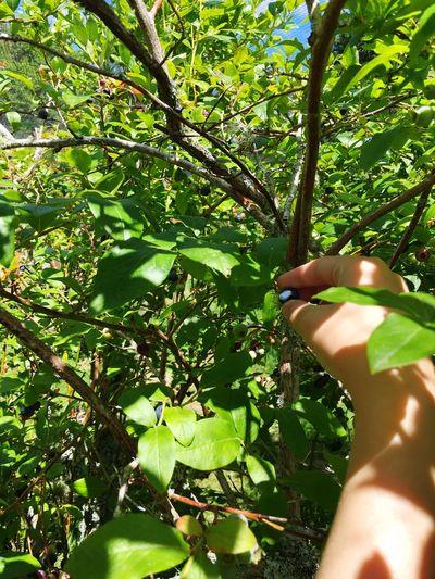 Picking blueberries Blueberries Picking Berries Fruit Fruit Picking