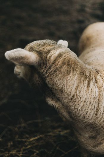Close-up No People Outdoors Animal Themes Day Nature Mammal Textured  Nature One Animal Animal Wildlife Livestock Wool