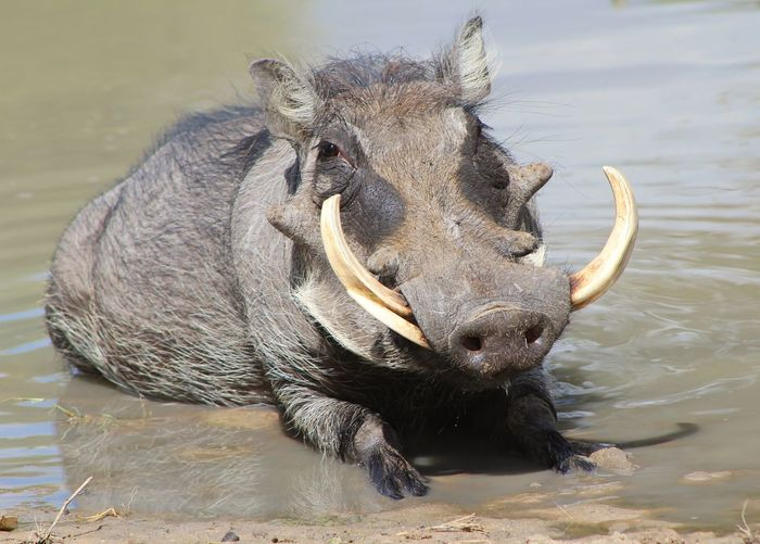 A Warthog boar takes a cooling mud bath during hot summer days in southwestern Africa. Cooling Off EyeEmNewHere Funny Impressive Animal Themes Animal Wildlife Animals In The Wild Boar Cute Hilarious Mammal Mud Bath Nature One Animal Outdoors Park Protected Safari Snout Swim Trophy Animal Tusks Warthog Water Wildlife