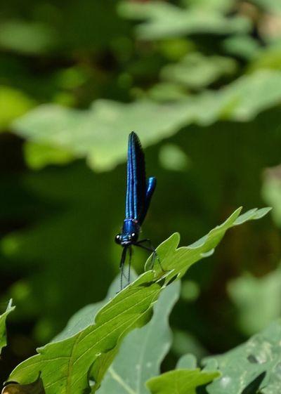 Close-up of blue damselfly on leaf