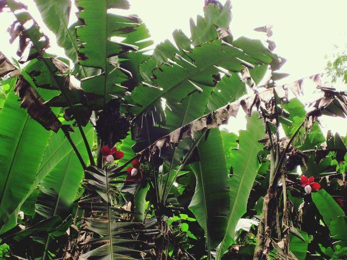 Banana bloom Bananaflower Myexoticdream Beautifuldestinations Mothernature