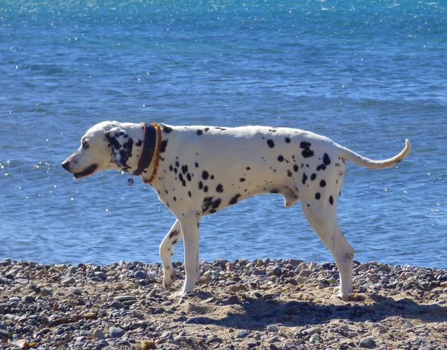 Dalmatian Walking At Beach