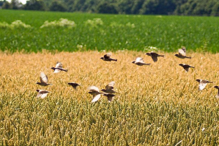 Flock of birds flying over rye field