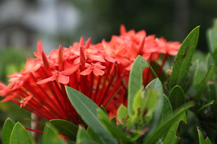 Nature Beauty In Nature Blooming Close-up Day Flower Flower Head Fragility Freshness Green Color Growth Leaf Nature No People Outdoors Petal Plant Red Spike Flower