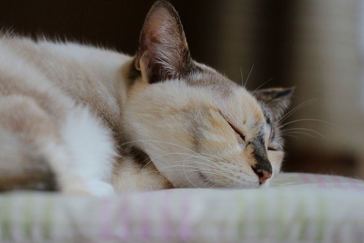 Pets Portrait Feline Domestic Cat Whisker Eyes Closed  Sleeping Cute Close-up
