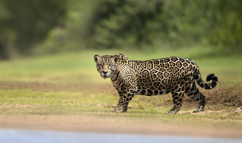 Full length of a cat walking on field