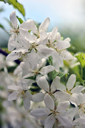 Selective focus close-up photography. With beautiful white flowers bloom decorative apple. Apple Blossom Apple Tree Beauty In Nature Blooming Blossom Botany Branch Close-up Day Flower Flower Head Fragility Freshness Growth Nature No People Orchard Outdoors Petal Springtime Stamen Tree Twig White Color