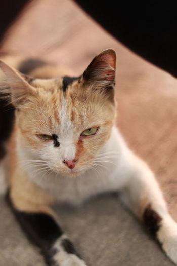Thai cat Pets