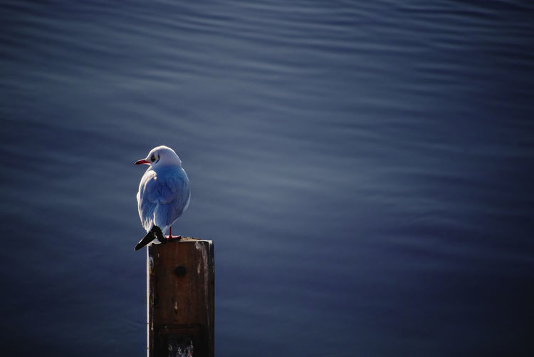 Seagull in the evening sunlight at river clyde - glasgow