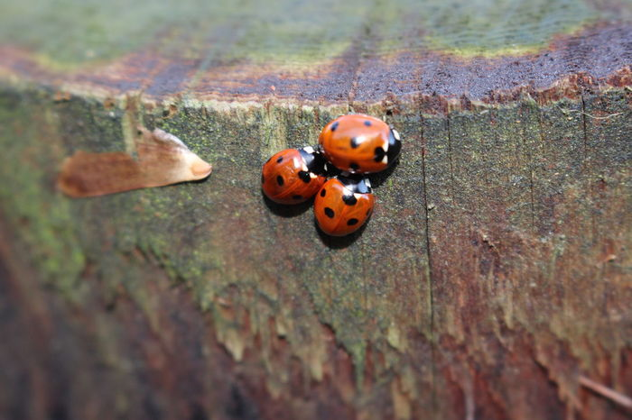 Bugs Bugslife Close-up Creatures High Angle View Insect Insects  Ladybird Ladybirds Ladybug Nature Nature Outdoors Shiny Spots Spotted Wildlife