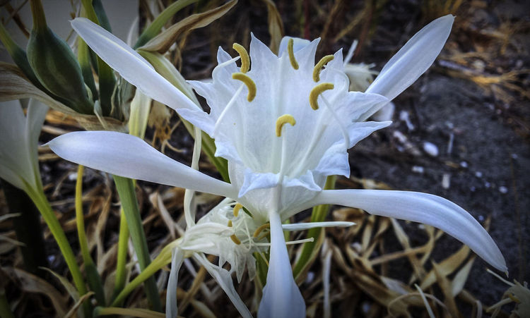 Pancratium maritimum #EyeEmEsterlinda #italy #Natural #summer #beach Beauty In Nature Botany Flower Focus On Foreground Fragility Freshness In Bloom Nature New Life Petal Tranquility White Color