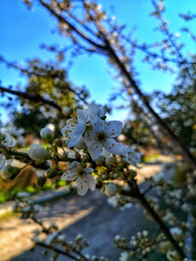 Spring Spring Has Arrived Tree Flower Branch Flower Head Springtime Blossom Sky Close-up Plant Life In Bloom Blossoming  Blooming Petal