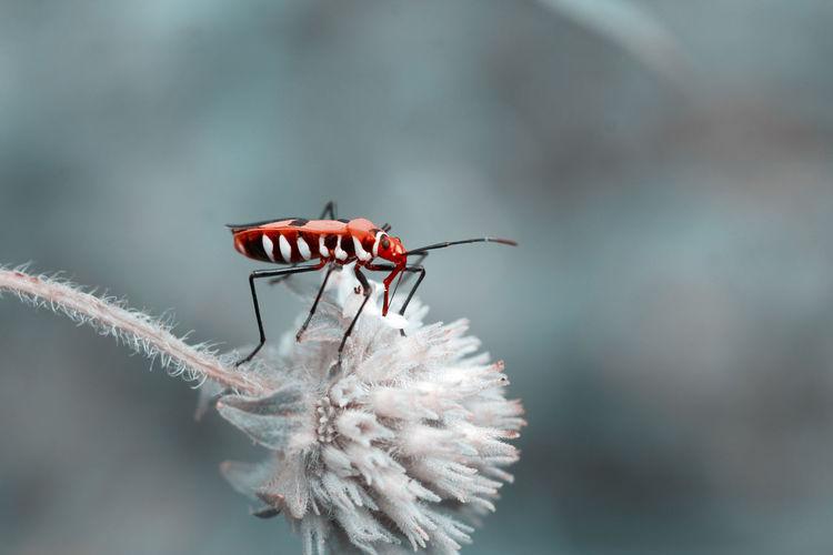 Cutton bug