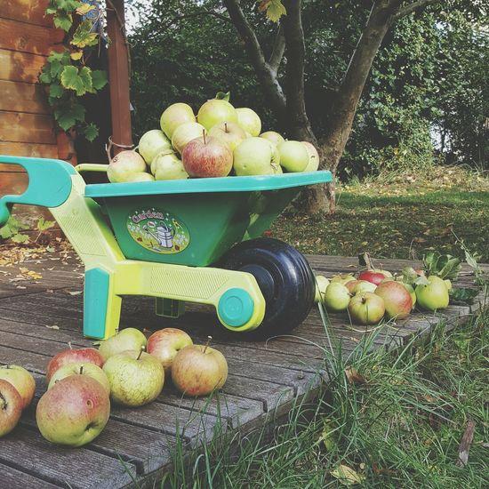 Apple season is not over yet ❤️ Fruit Apple - Fruit Freshness Food Healthy Eating Tree Abundance Harvesting Organic Gardening In The City Day Garden Fruits Seasonal Fruit Fall Beauty Autumn