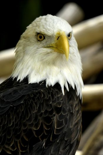 Wildlife Bird Multi Colored Portrait Looking At Camera Perching Bald Eagle Feather  HEAD Animal Wing Animal Eye