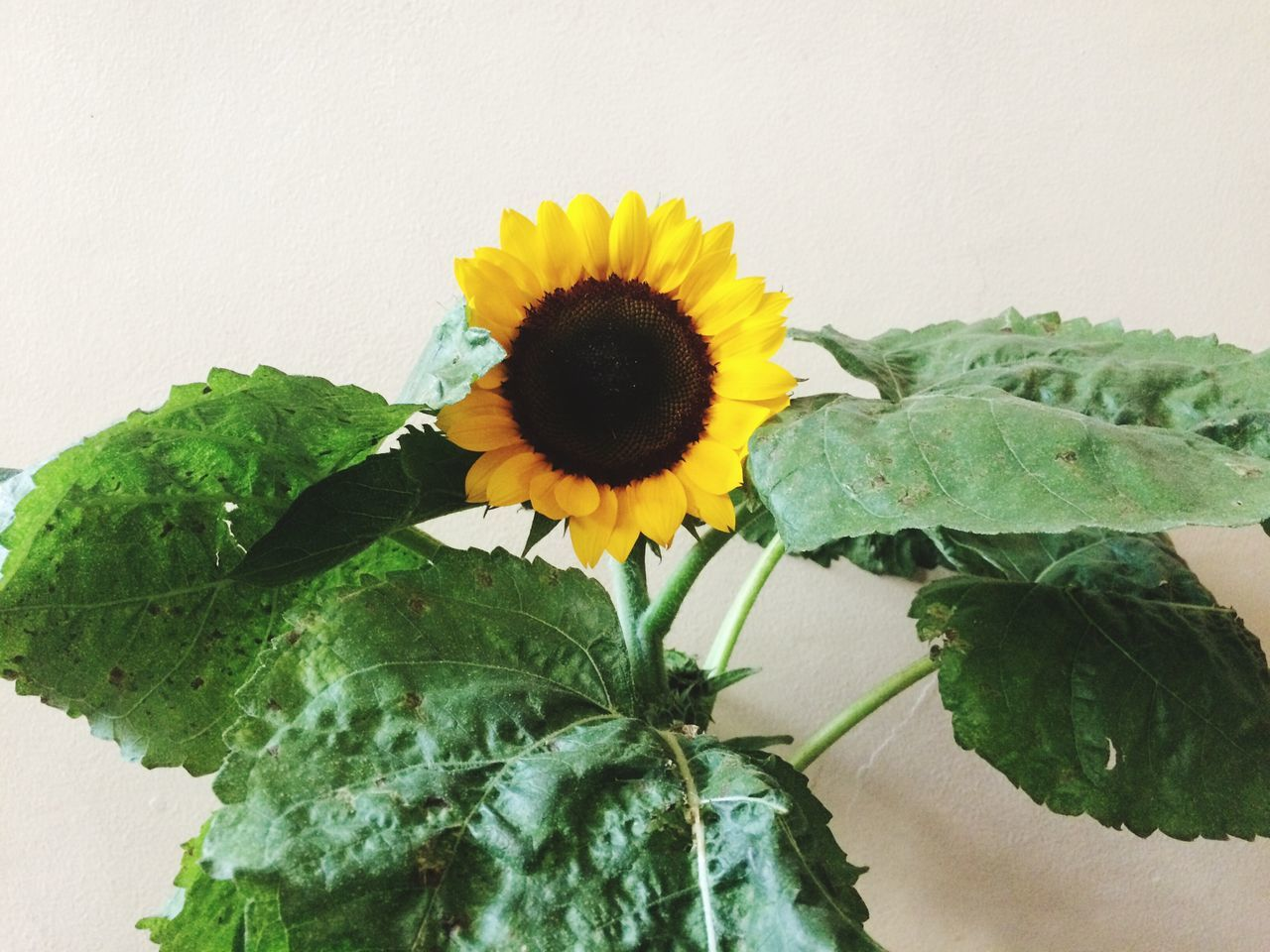flower, freshness, fragility, leaf, petal, growth, flower head, beauty in nature, plant, yellow, no people, nature, green color, close-up, day, sunflower, blooming, outdoors