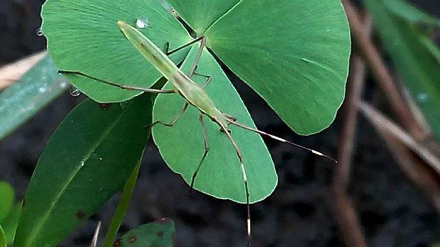 Belalang Naturelovers . Bug FloraANDfauna Natgeoindonesia 1day1klick Wepe67photography