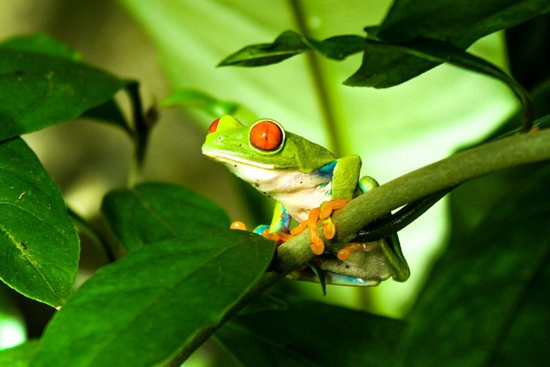 Frog Snoopfrog Costa Rica Rainforest Animals Animal Photography Green Check This Out Relaxing Animal Portrait
