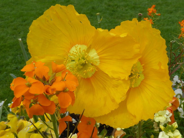 Beauty In Nature Blooming Close-up Day Flower Flower Head Fragility Freshness Growth Nature No People Outdoors Petal Plant Pollen Poppy Poppy Flowers Yellow Yellow And Orange Yellow Flower