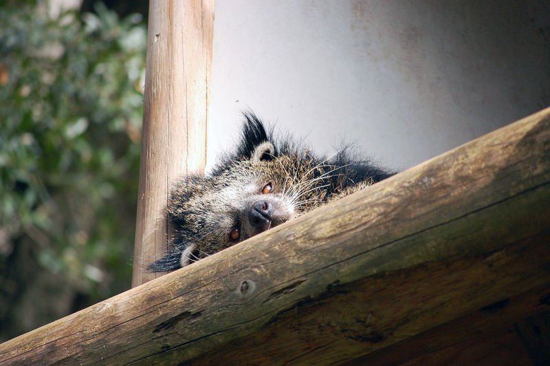 Wake up sleepy! Animal Themes Animal Wildlife Animals In The Wild Asian Animals Binturong Close-up Fuzzy Grumpy Mammal Nap Time Nature One Animal Sleeping Animal Sleepy Wood - Material