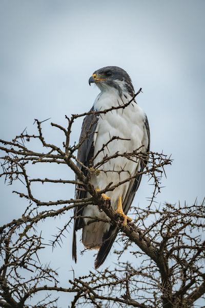 Augur Buzzard Bird Bird Of Prey Buzzard