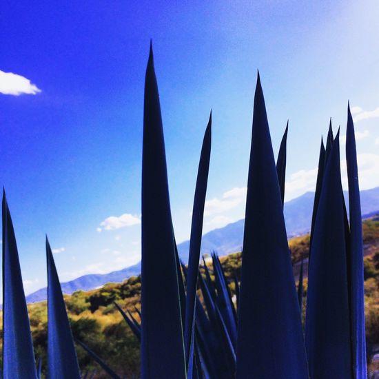 Beautiful Blue Agave