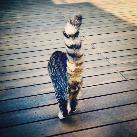 Cat Cat Lovers Cute Pets Cat Tail