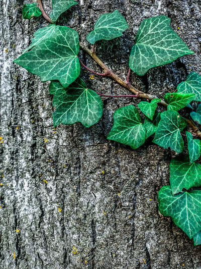 High angle view of ivy growing on tree trunk