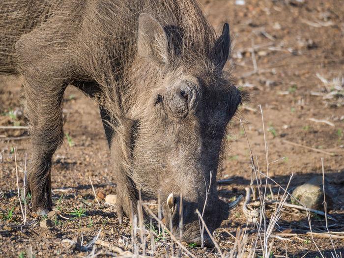 Close-up of warthog grazing in arid landscape, kruger national park, south africa