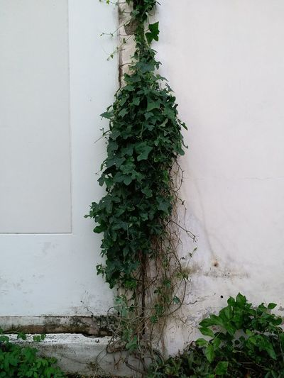 Leaves Coccinia Grandis Growth Green Color No People Nature Day Tree Plant Outdoors Close-up Wall