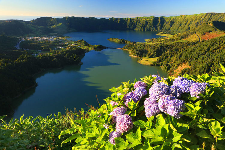 High Angle View Of Purple Hydrangeas Blooming Against Lake At Azores