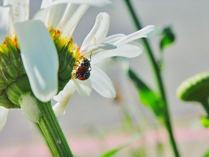 Insect Koduckgirl Ladybug Flower Head Petal Bug Lovin Bugslife Bug Lovers
