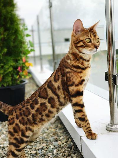 Cat Bengal Cat Bengal Cat Bengal Domestic Cat Animal Themes Pets Domestic Animals One Animal Mammal Feline