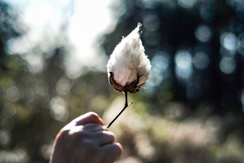 Close-up of hand holding cotton outdoors