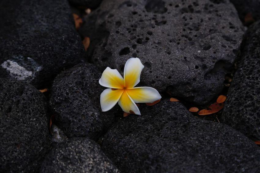 Flower Flowering Plant Beauty In Nature Petal Fragility Vulnerability  Freshness Rock - Object Outdoors