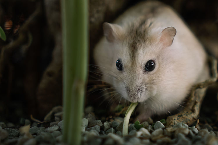 Close-up portrait of a hamster